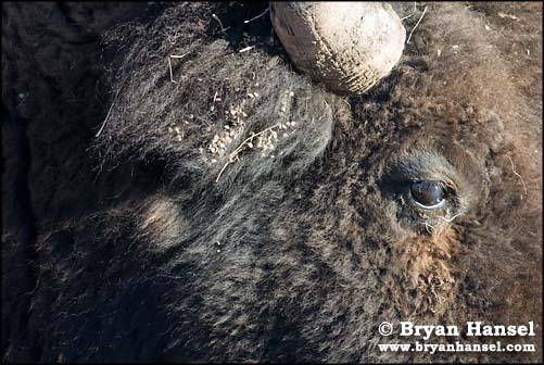 Closeup Buffalo