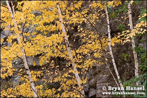 Yellow Fall Color