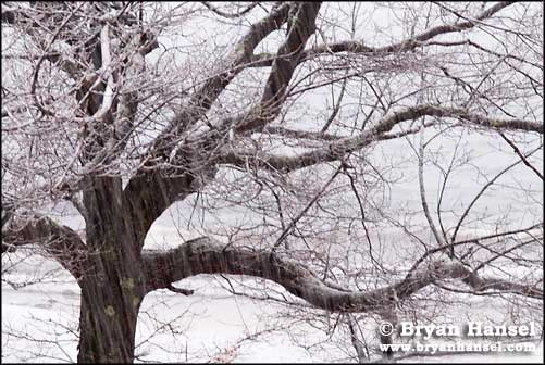 Tree in Snow Storm
