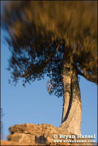 White Cedar and Sky