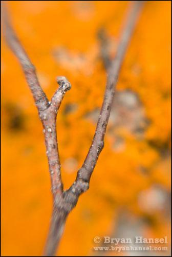 Lichen and Branch