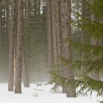 Foggy boreal forest in a late winter drizzle.