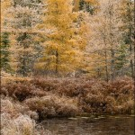 Frosted Tamarack in Fall Color