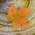 Maple on Fungus