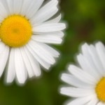 dreamy daisy (daisies) on the northshore.