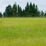 A grassy field outside of Grand Marais, MN sways in the wind.