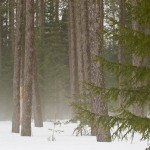 Foggy boreal forest in a late winter drizzle. Several feet of snow still covers the ground. George Washington Pines, Minnesota.