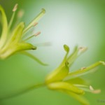 blue bead lily