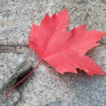 Maple Leaf on Rock