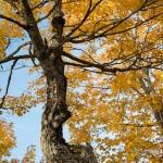Misshapen Maple Tree