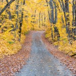 The fall colors in a stunning yellow on Rengo Road near Grand Portage. Minnesota.
