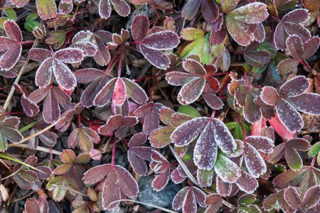 Three-toothed cinqfoil covered in frost.