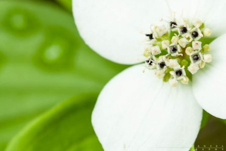 A closeup of a bunchberry bloom.
