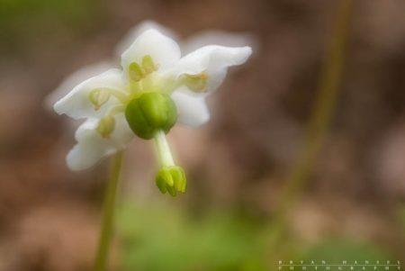 one-flower wintergreen