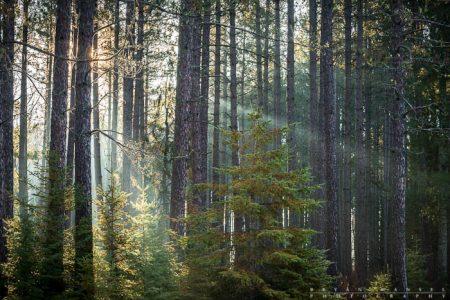 George Washington Pines Sun Rays