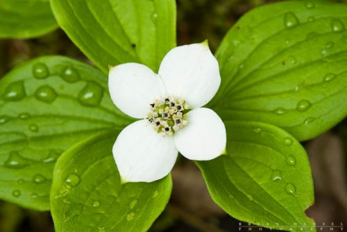 Bunchberry with the remains of dew drops.