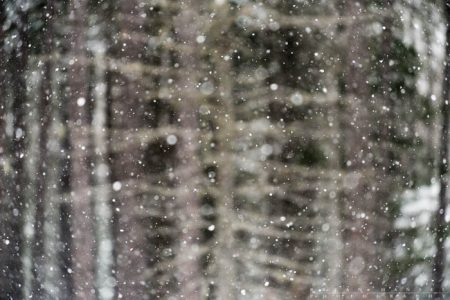 pines and snow in the superior national forest