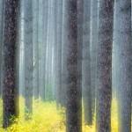 George Washington Pine fall color.