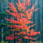 maple tree in a pine forest