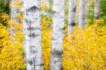 aspen trees and fall color