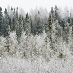 hoar frost coats a boreal forest