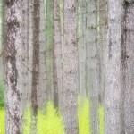 pine trees at George Washington Pines