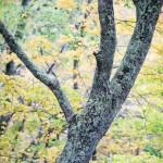 tree in the smokies