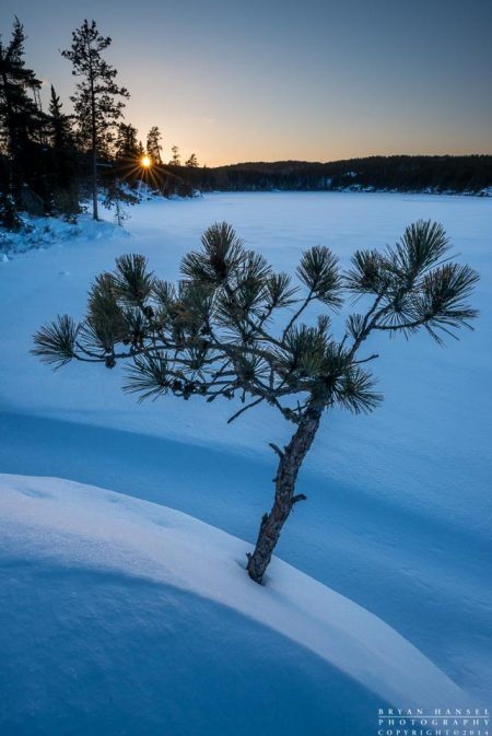 Lone pine at sunset in winter in the BWCA