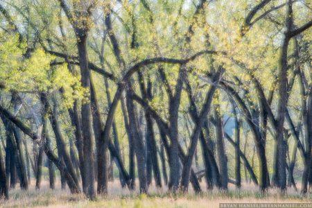Cottonwood trees on the Little Missouri River