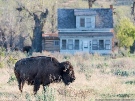 bison at Peaceful Valley Ranch
