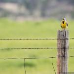 medowlark calling