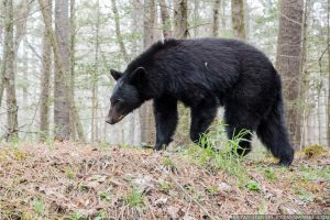 smoky mountains bear in cades cove