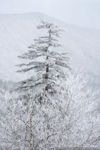 snow covered tree against mountains in the smokies