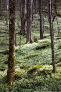 fringed phacelia cover the forest floor in a cove hardwood forest