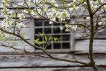 dogwood against olge cabin