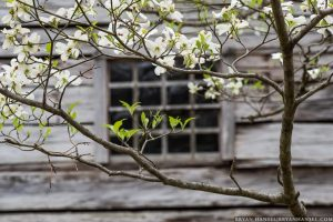 dogwood against olge cabin