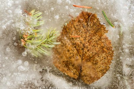 leaf melting out of the ice