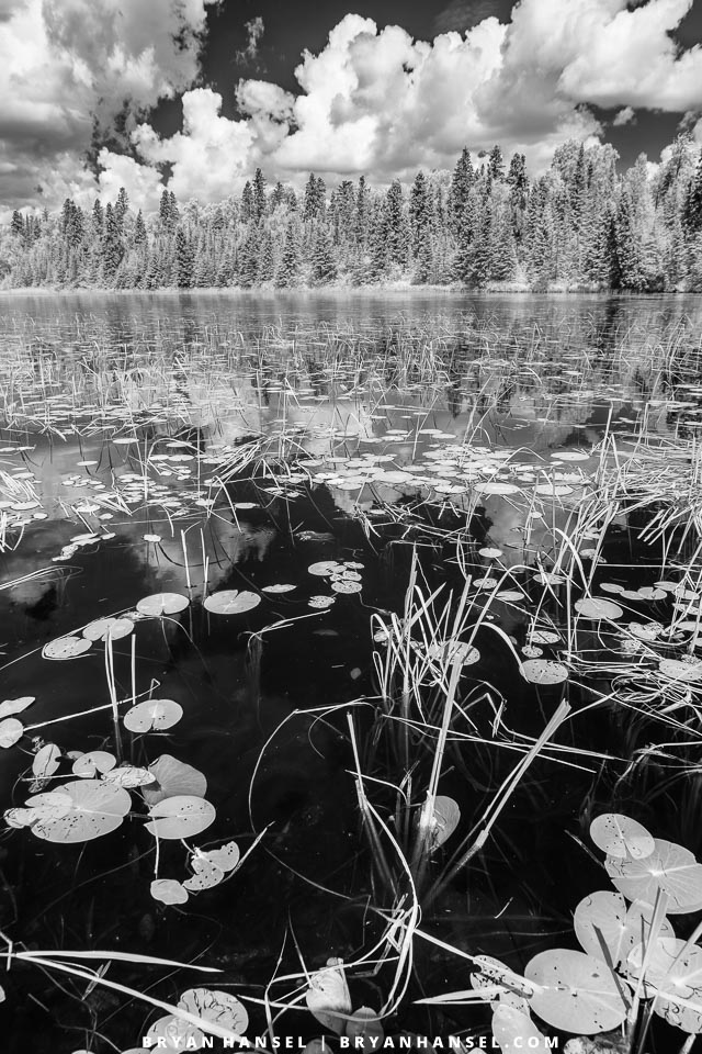 lily pads in infrared